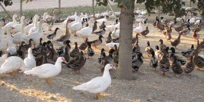 azienda-avicola-scudellaro-2